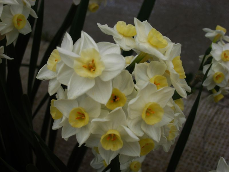 Narcisses 2