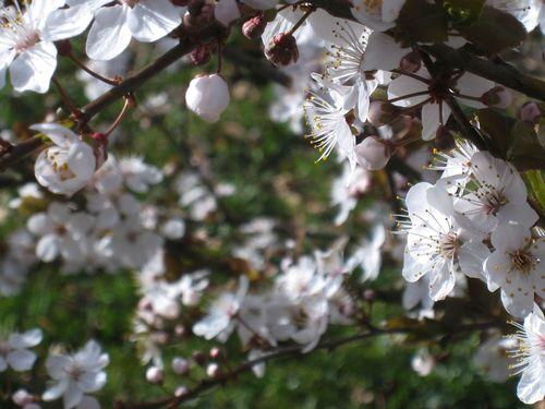Fleurs de prunier 2