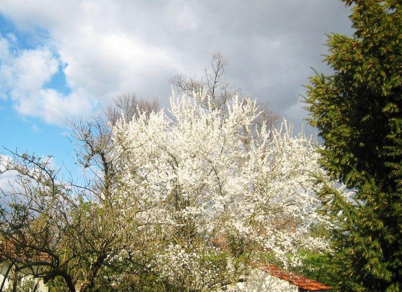 Fleurd de prunier