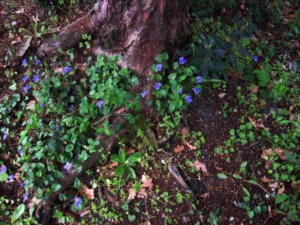 Semis de violettes