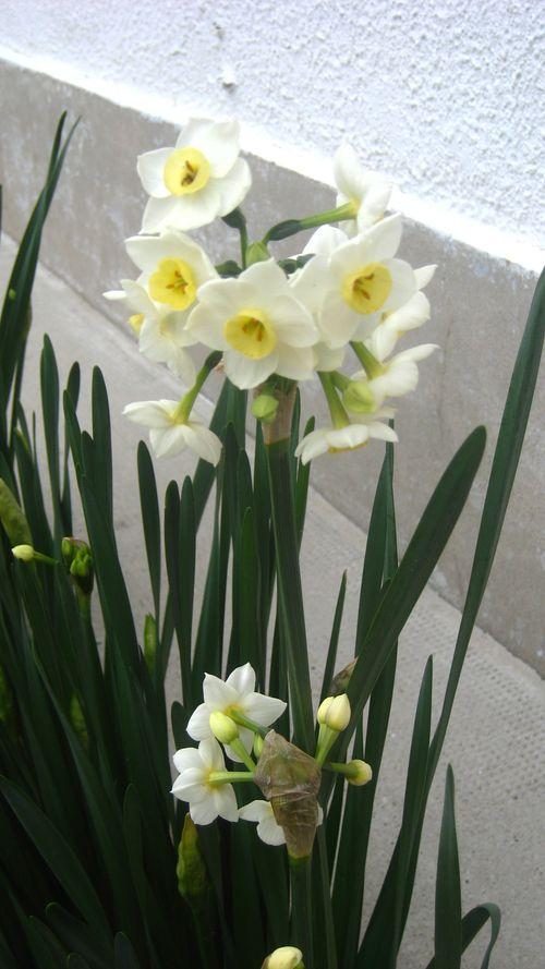 Narcisses-09-01-2012--dans-mon-jardin