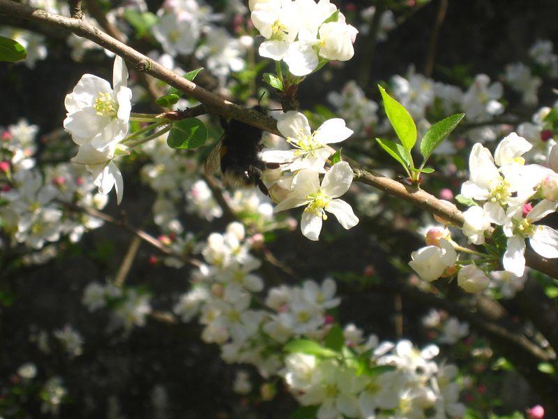 Fleurs de prunier 3