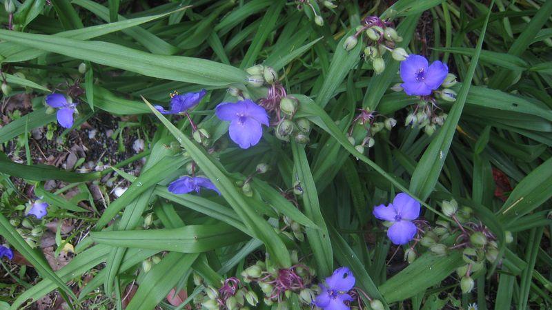 Fleurs bleues 2