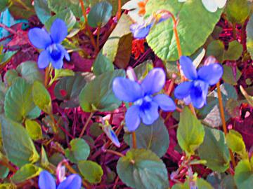 Violettes_2
